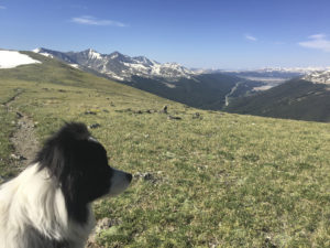 dog looks over the tundra and mountains