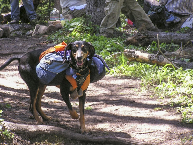 dog with backpacks