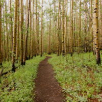 trail through aspen trees